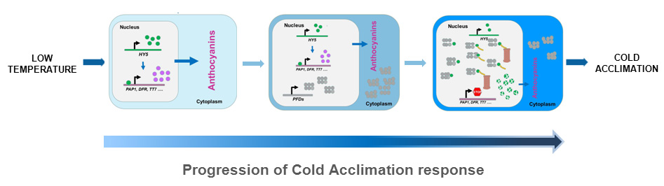 Progression of cold acclimation response