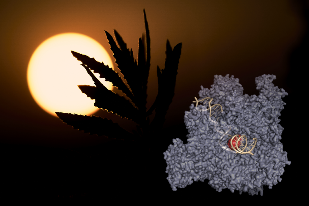 The structure of RNA polymerase I stalled at an ultraviolet light-induced DNA lesion unveiled