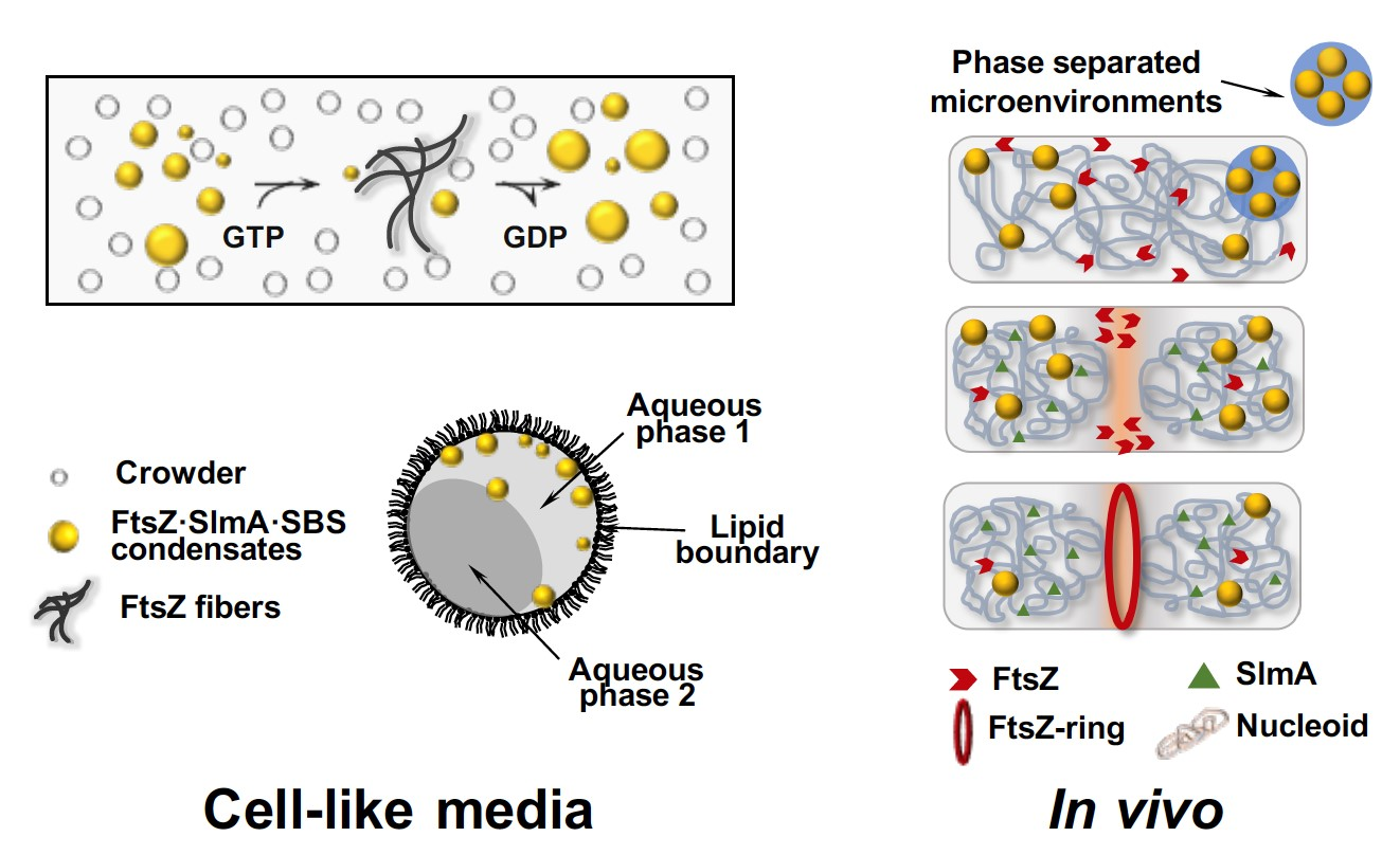 FtsZ protein forms condensates by phase separation in crowding conditions