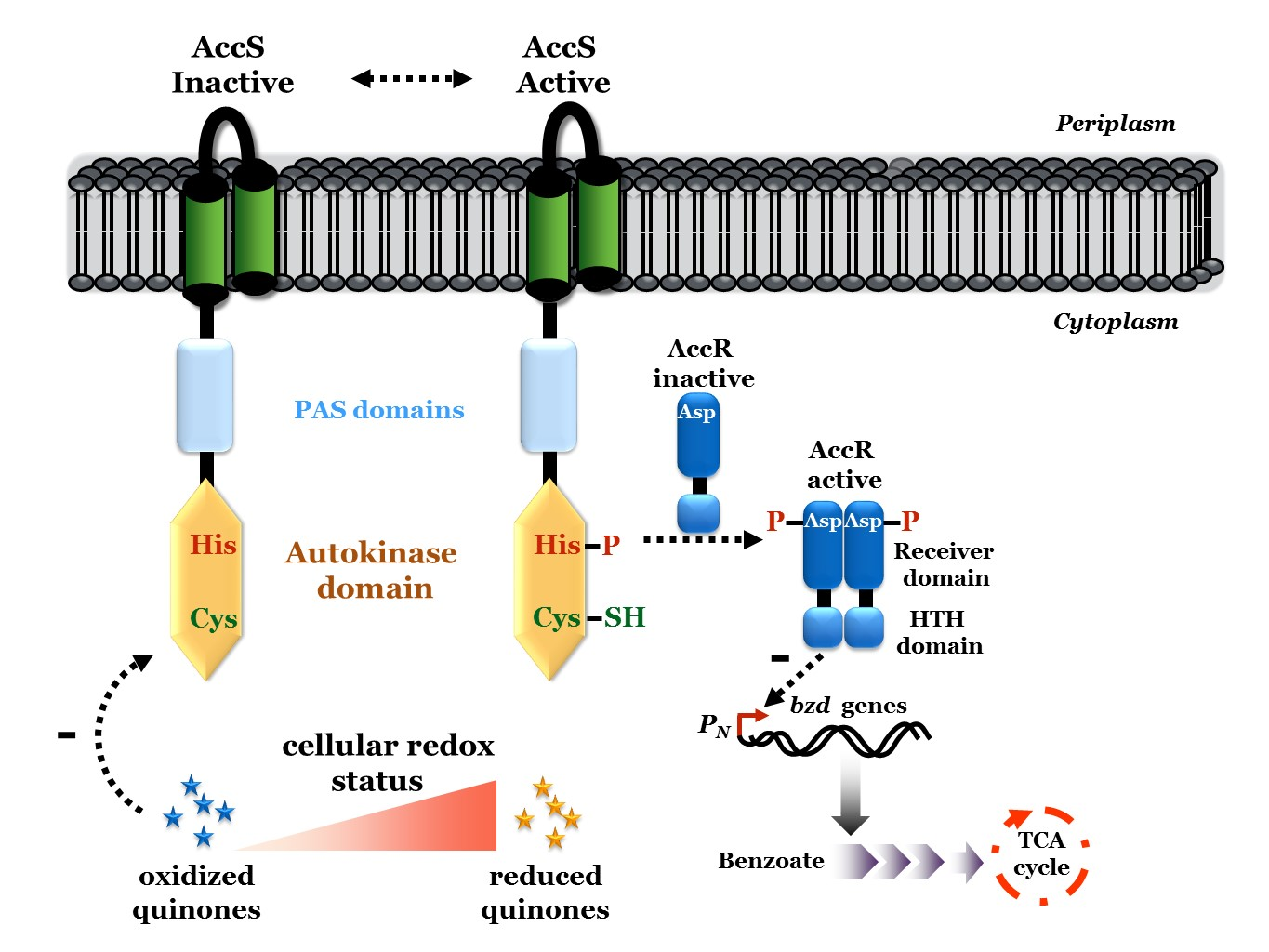 A novel redox-sensing histidine kinase controls the anaerobic degradation of aromatic compounds in some bacteria